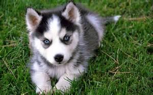 Husky puppy  Puppies Wallpaper