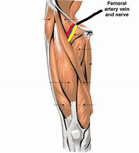 Wiring And Diagram  Diagram Of Upper Leg Muscles