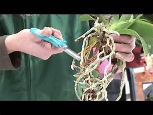 Orchideen Umtopfen Wurzeln Schneiden : 26 orchideen richtig pflegen gie en und behandeln die wurzeln brauchen auch licht youtube ~ A.2002-acura-tl-radio.info Haus und Dekorationen