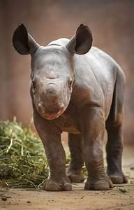 HPLC Method Sparks Endangered Black Rhino Baby Boom!