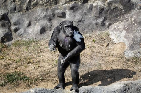 Chimpanzee trained to smoke cigarettes every day in North ...