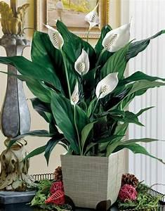 Pflegeleichte Zimmerpflanzen Mit Blüten : 13 pflegeleichte bl hende zimmerpflanzen ~ Eleganceandgraceweddings.com Haus und Dekorationen