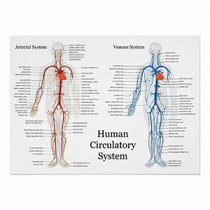Human Circulatory System Of Arteries And Veins