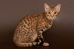 Who's That Cat? 13 Reasons That the Ocicat Is Spot On ...