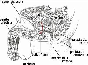 Which Parts Of The Male Urethra Correspond To The Female