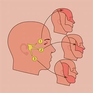 Mandibular Nerve Stock Illustrations  U2013 18 Mandibular Nerve