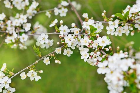 Cherry Blossom In Spring Beautiful White Flowers Branch