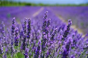 Plant De Lavande : photo gratuite fleur de lavande lilas bleu image ~ Nature-et-papiers.com Idées de Décoration