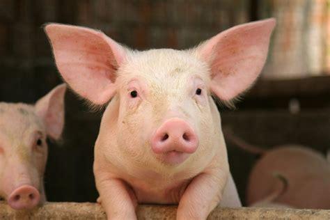 image de cochon (4)
