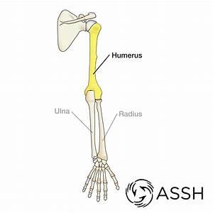 Anatomy 101  Arm Bones