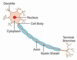 Labeled Diagram Of Nerve Cell Wwudaicc -biology