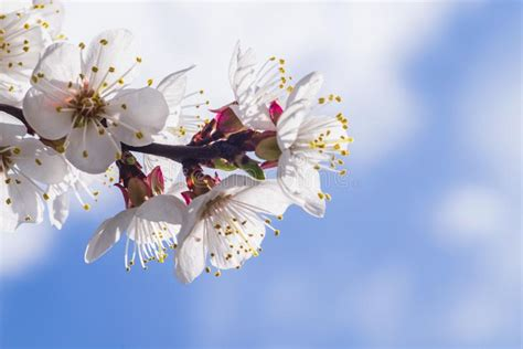 A Branch Of Cherry Blossoms Flowering Apricot On A Sunny