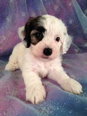 Breeders of quality parti color cocker with excellent temperament and complete health testing. Parti colored cockapoo Puppies for sale|Professional Breeder|$150 Shipping by air | Cockapoo ...