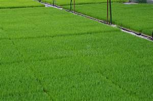 Rice Planting By Machine Stock Photo  Image Of Rice