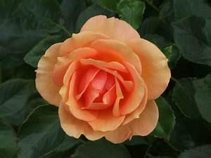 Rosa Farbe Mischen : apricot farbe mischen wandfarbe apricot der frische trend bei der wandgestaltung in 40 ~ Orissabook.com Haus und Dekorationen