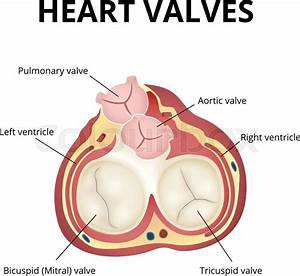 The Work Of Heart Valves  Anatomy Of