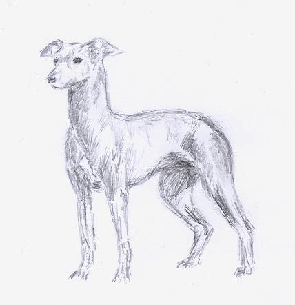 foto de Italian greyhound sketch by Embers on DeviantArt