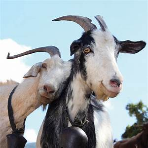 Donate A Pair Of Goats