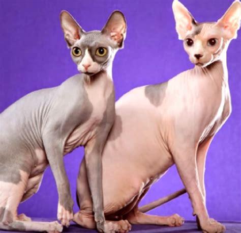 1+1 על כל הפריטים באתר boys shop now family pj's shop now men shop now girls shop now babies shop now women shop now gato app רוצים את gato אצלכם בנייד? Gato Shphynx Egipcio | EsMuyChido.Com