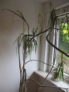Drachenbaum Schneiden Video : drachenbaum retten pflege zimmerpflanzen ~ Watch28wear.com Haus und Dekorationen