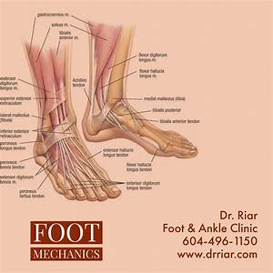 Anatomy Of Your Foot