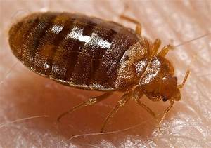 yuck don39t let bed bugs bite you in san diego times of With bed bugs san diego