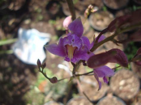 Orquídeas HElid: Bletia Purpurea