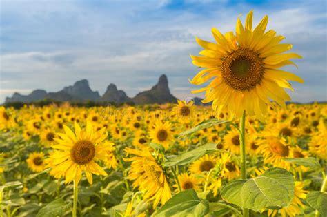 För Mittfält För Bi Yellow För Solros För Sun För Sommar För Ljus Blomma Sen Fotografering för ...