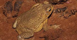 Cane Toad Countries Quiz
