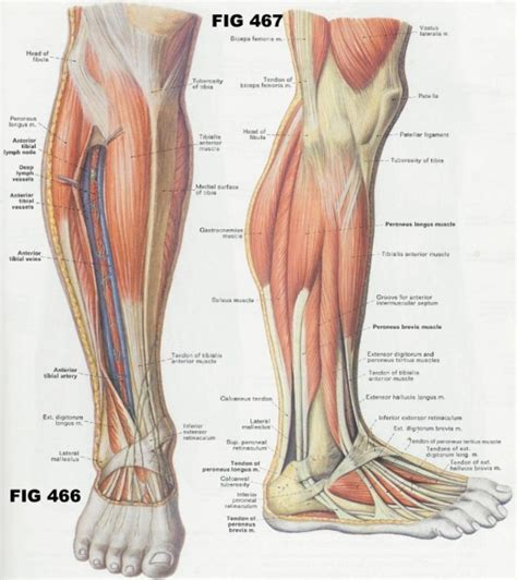 Muscle diagrams of major muscles exercised in weight training. Human Anatomy Leg Muscles Human Anatomy Leg Muscles ...