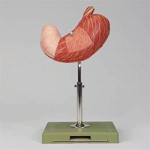 Somso U00ae Human Stomach Model
