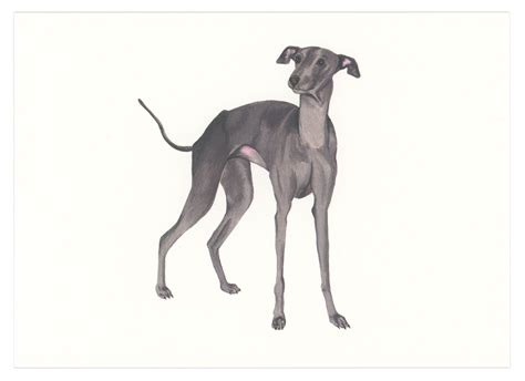 foto de Italian Greyhound Art Print (With images) Italian
