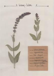 Was Ist Ein Herbarium : der wiesen salbei ein pflanzenportrait im herbal hunter herbarium ~ A.2002-acura-tl-radio.info Haus und Dekorationen