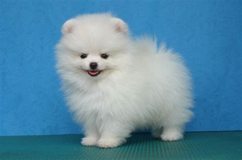 Cute Puppy Dogs: White Pomeranian Puppies