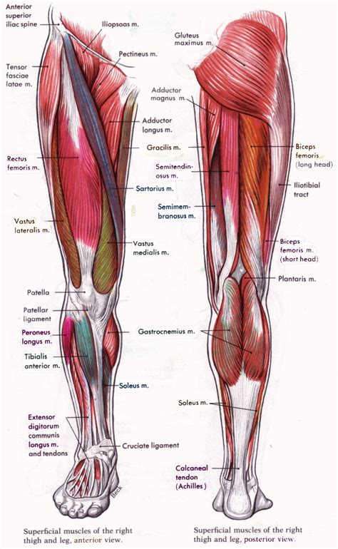 What makes up the pelvic girdle? Leg Muscles