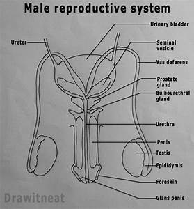 Draw It Neat   How To Draw Male Reproductive System