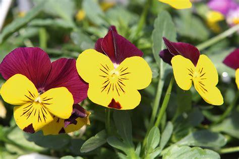 Atraitnītes - košas puķes, kuras salnas nebaida   Praktiski.lv