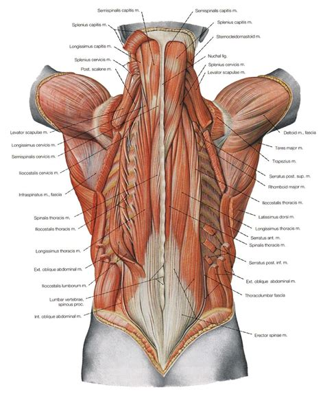 This article looks at female body parts and their functions, and it provides an interactive diagram. Low Back Muscles Anatomy Lower Back Anatomy Image Galleries Imagekb   Tubuh manusia, Akupresur ...