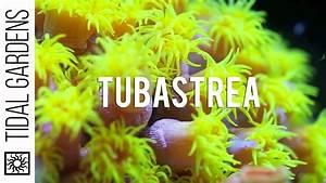 Tubastrea    Balanophyllia Non