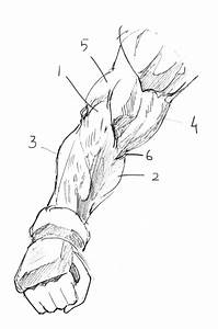 How To Draw Forearms With Anatomical Detail  A Step