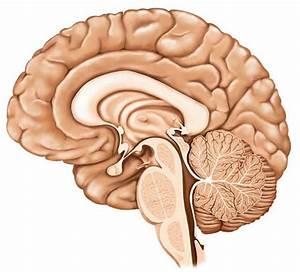 Nervous System Part 2 Brain Diagram