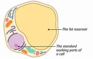 Fat Cell Diagram