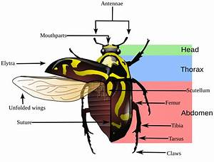 Image Result For Insect Anatomy