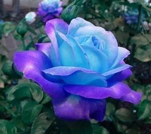 signification rose bleue fashion designs With quelle couleur avec le bleu 6 la signification des roses quelle couleur de roses offrir