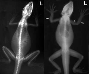Image  Water Dragons  Radiograph