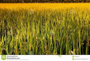 Mature Rice Stock Image  Image Of Growth  Crops  Fruit