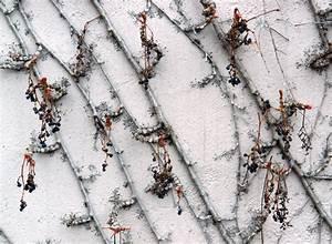 Wilder Wein Sorten : wilder wein im winter so sch tzen sie ihn richtig ~ A.2002-acura-tl-radio.info Haus und Dekorationen