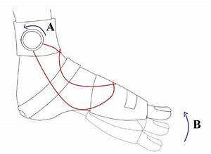 Lateral View Of Induction Of Passive Ankle Dorsiflexion  A