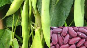 Growing Red Kidney Beans Information