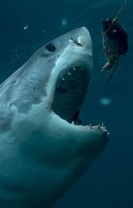 Shark Week Calendar  Your Ultimate Guide To All 17
